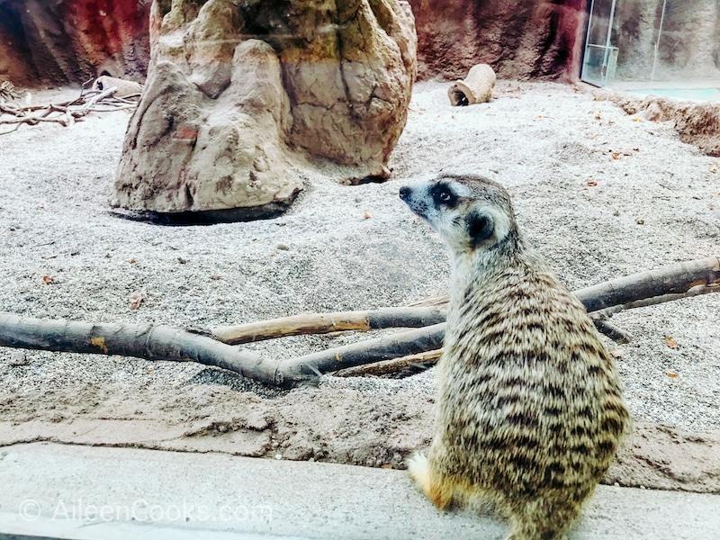 Close up of a meerkat at the Sacramento Zoo.