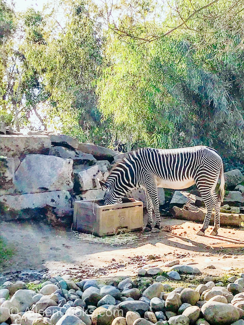A zebra eating from a box of food at the Sacramento Zoo.