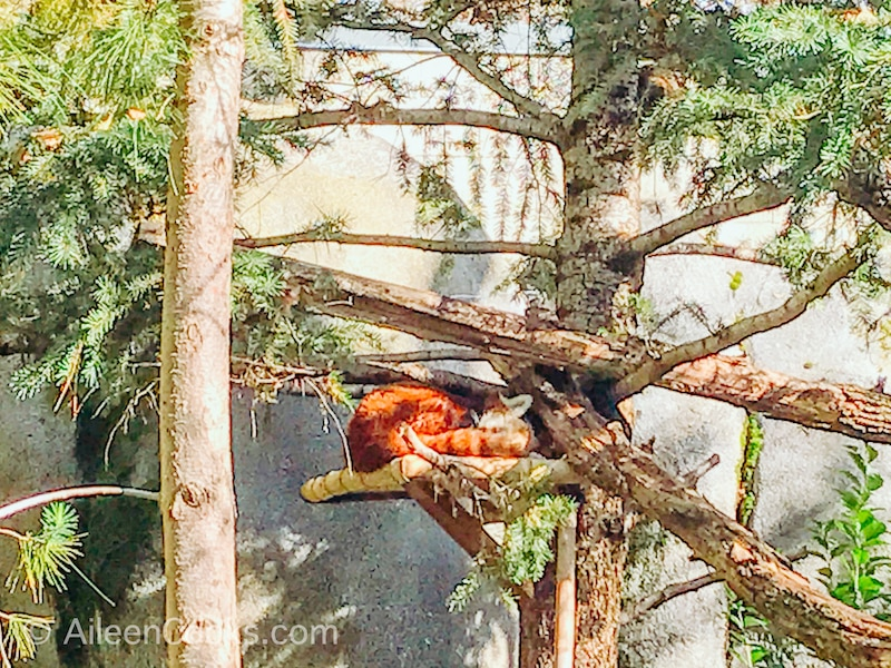 A red panda laying on a branch in a tree at the Sacramento Zoo.